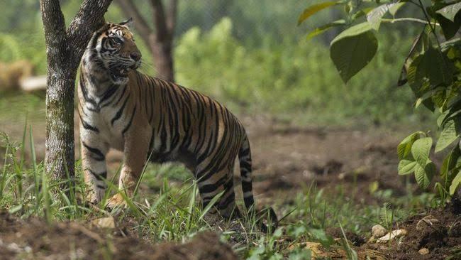 Terekam Video, Harimau Sumatera Muncul Diwilayah Indragiri Hilir