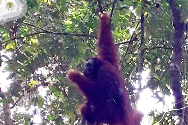 Kisah Pelepasliaran Sun Ghou Kong ke TNBT di Hari Konservasi dan Orangutan Sedunia
