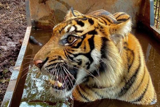 Masuk Jebakan, Harimau Sumatera di Teluk Lanus Dibawa ke Pekanbaru